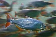 Cuiaba_MT, Brasil...Aquario Municipal de Cuiaba, Mato Grosso...Municipal Aquarium of Cuiaba, Mato Grosso...Foto: JOAO MARCOS ROSA  / NITRO..