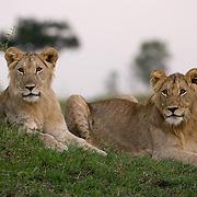 African Lion (Panthera leo) two young lions. Masai Mara Game Reserve, Kenya, Kenya