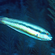 Slippery Dick constantly swim about reefs and adjacent sand areas and sea grass beds in Tropical West Atlantic; picture taken Grand Cayman.