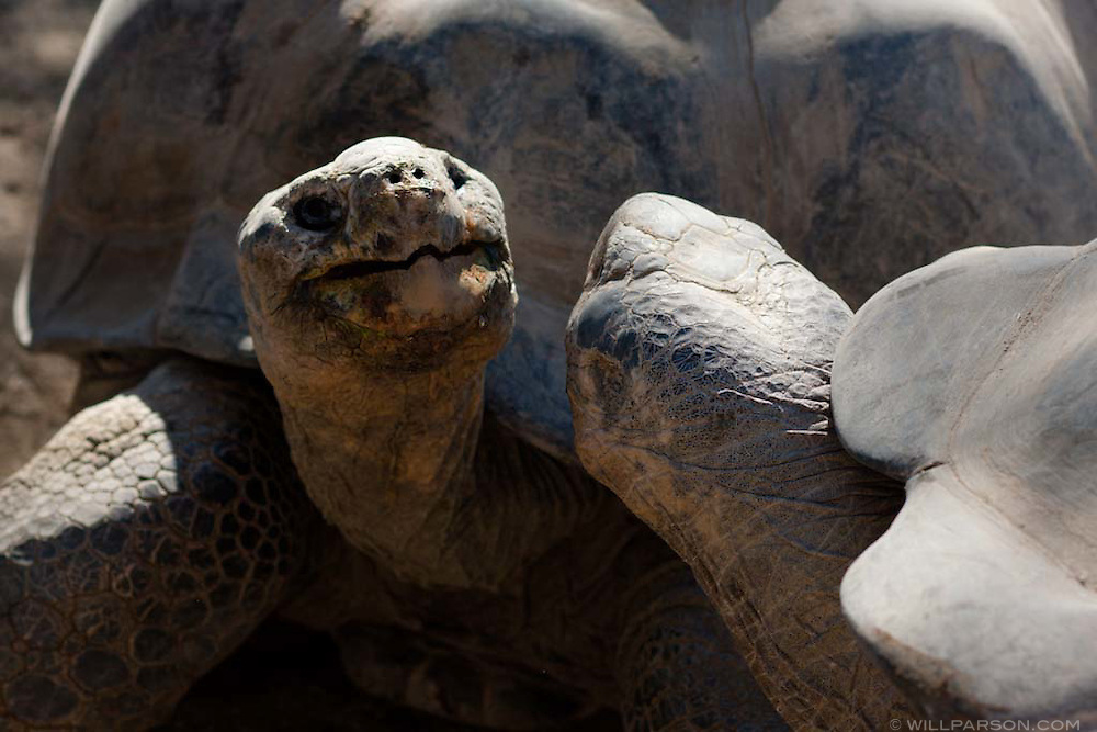 A giant Galapagos tortoise at the San Diego Zoo