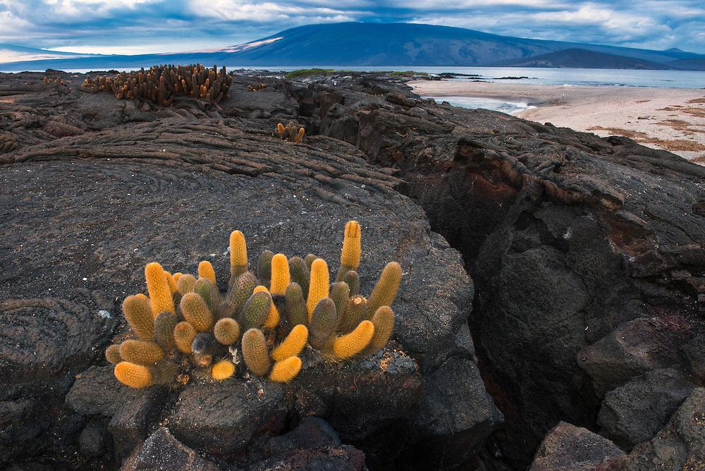 Lava Cactus (Brachycereus nesioticus)<br /> Fernandina<br /> GALAPAGOS ISLANDS,<br /> Ecuador, South America<br /> ENDEMIC