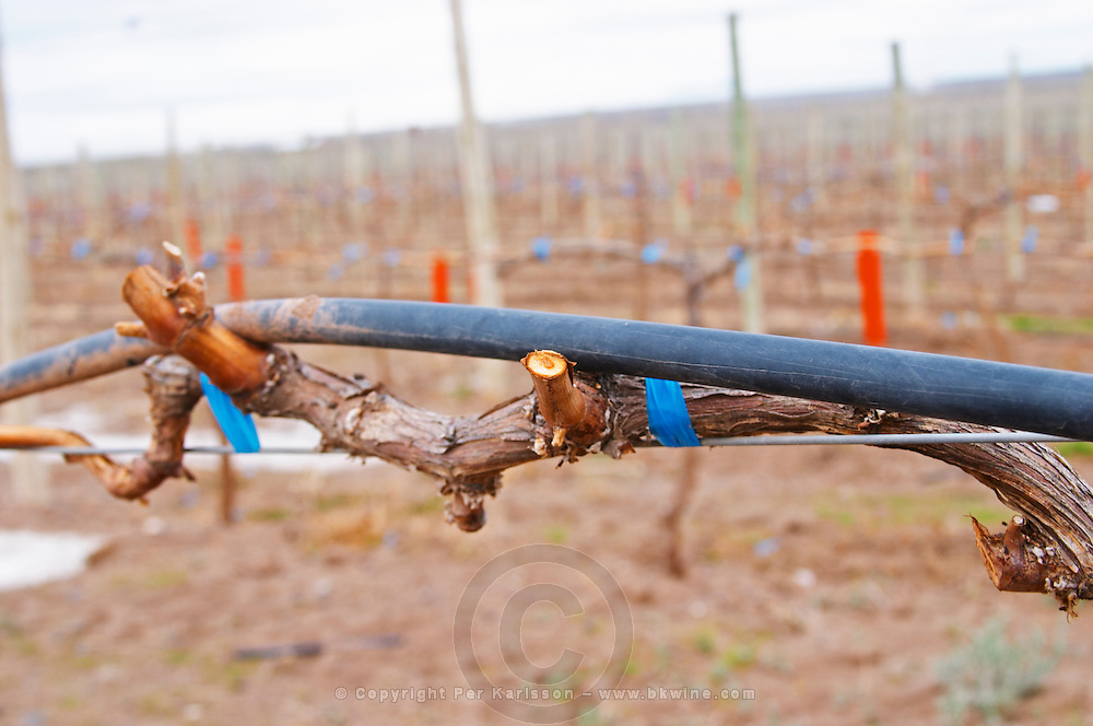 Young vine with a view of the sandy soil. cordon Royat training, black rubber tube for water drip irrigation of the vineyard. Bodega Valle Perdido (previously Arquen) Winery, Neuquen, Patagonia, Argentina, South America