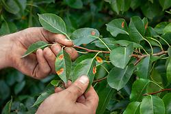 The bright orange spots of European pear rust on pear foliage. Gymnosporangium sabinae. Pyrus