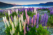 Dawn light on lupine at Lake Tekapo, Canterbury, South Island, New Zealand