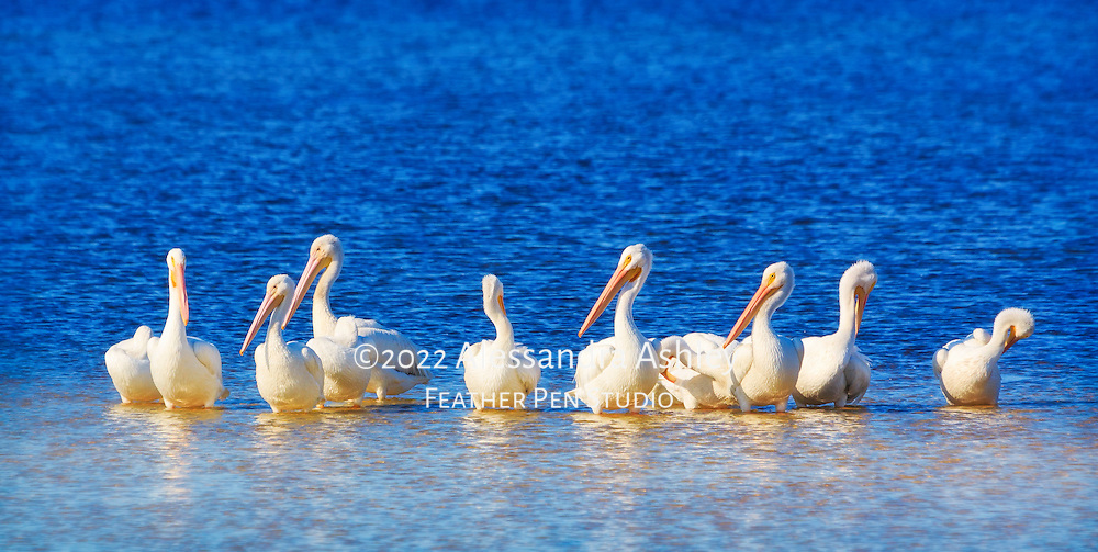 Ten white pelicans sunning and preening on sandbar in late afternoon light. Ding Darling NWR, FL.