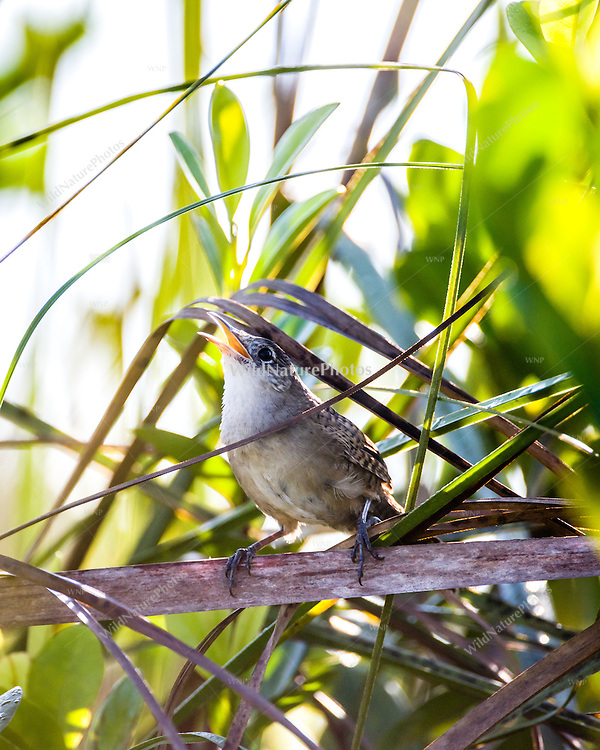 A highly endangered, endemic Zapata Wren (Ferminia cerverai) singing, in the heart of the Zapata Swamp, near Santo Tomás. Cuba.