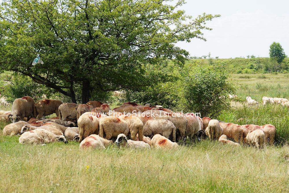 A herd of Sheep in rural Romania