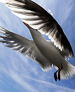 Seagulls are big, graceful flyers. (Alan Berner / The Seattle Times)