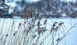 THEMENBILD - das Schilfrohr (Phragmites australis (Cav.), Phragmites communis Trin.) ist eine weltweit verbreitete Art der Süßgräser (Poaceae) und wird auch allgemein als Schilf bezeichnet aufgenommen am 28. Februar 2018, Zell am See, Österreich // the reed (Phragmites australis (Cav.), Phragmites communis Trin.) is a common species of sweet grasses (Poaceae) on 2018/02/28, Zell am See, Austria. EXPA Pictures © 2018, PhotoCredit: EXPA/ Stefanie Oberhauser