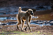 Chacma baboon (Papio ursinus), Chobe National Park, Botswana.