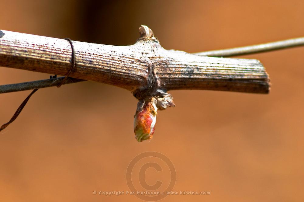 buds on the vine chardonnay le montrachet puligny-montrachet cote de beaune burgundy france