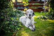 """English Setter Welpe """"Rudy"""" liegt am 04.07. 2017 im Garten.  Rudy wurde Anfang Januar 2017 geboren und ist gerade zu seiner neuen Familie umgezogen."""