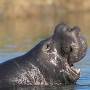 Northern Elephant Seal, (Mirounga angustirostris)  Male bellows challenge. California.