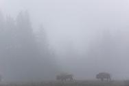 Bison on a foggy morning near Nez Perce Creek, Yellowstone