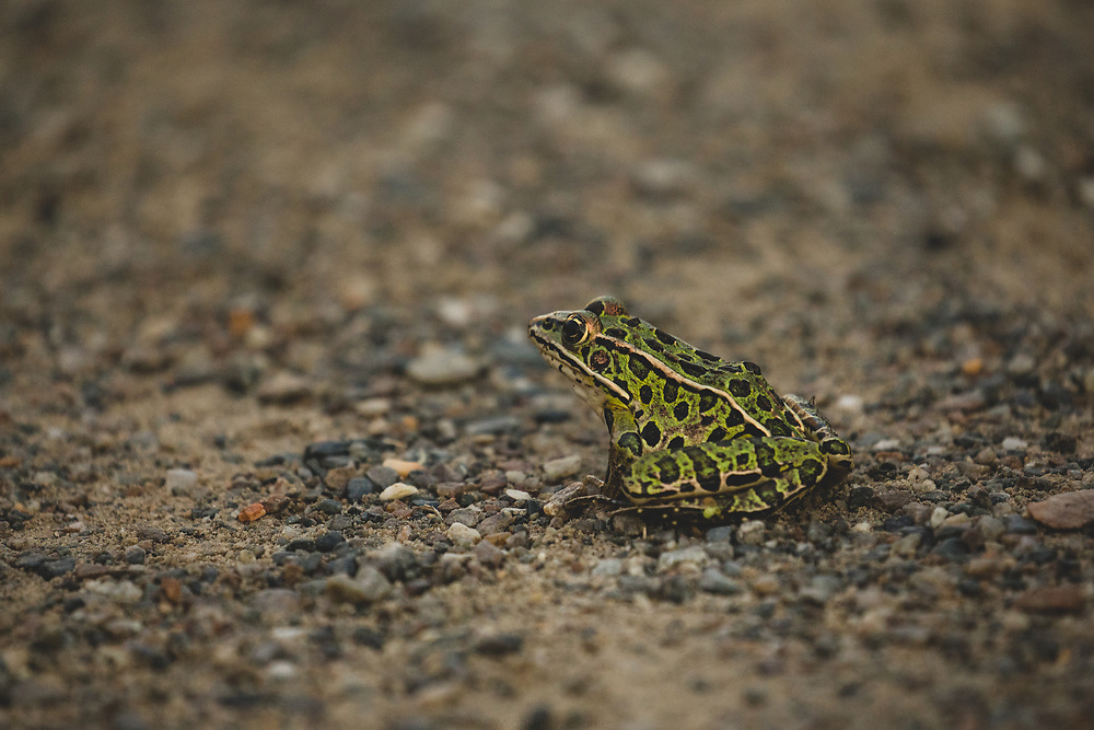 A Northern Leopard Frog wandering the landscape of Concord on a warm autumn afternoon.