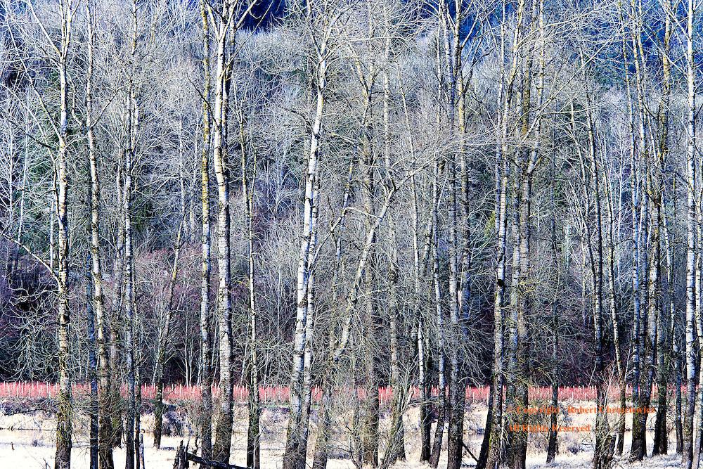 Forest Serene:  A stark winter scene of sunset upon barren poplar trees, near to Agassiz British Columbia, Canada.