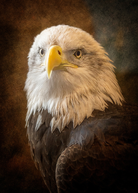 Looking at a Bald Eagle Straight On