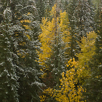 An early snowfall dusts fall colored trees in Banff National Park, Alberta, Canada.
