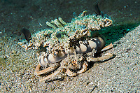 A Carry Crab brings its protection along on its back, in the form of an Upside-down Jellyfish<br /> <br /> Shot in Indonesia