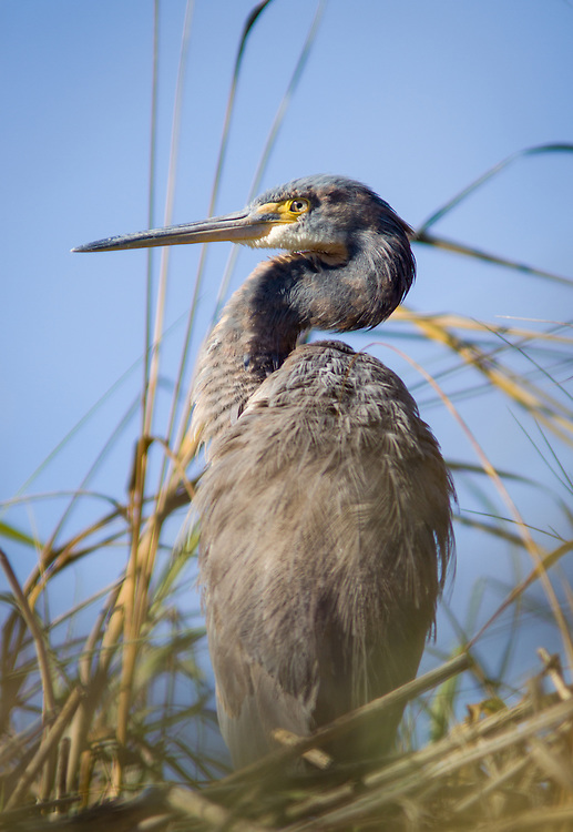 A tricolored heron hangs out in the winter marsh of the May River.
