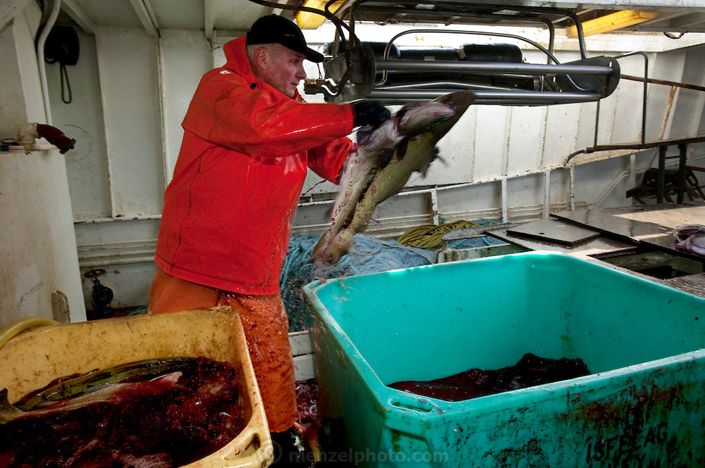 Icelandic cod fisherman Karol Karelsson, cleans cod fish on a fishing boat near the small port of Sandgerdi on the western side of Reykjanes peninsula, Iceland. (Karel Karrelson is featured in the book What I Eat: Around the World in 80 Diets.) The caloric value of his typical day's worth of food in May was 2300 kcals. He is 61 years of age; 6 feet, 1 inch tall; and 202 pounds.  Although their craft is small their large nets are mechanized. They monitor the casting then drink coffee and eat bread and fruit in the boat's galley until it's time to  haul in the bounty. They clean the fish in the belly of the ship, toss the guts, and then, after repeating this cycle many times for 8 hours, head for port. Karol takes a fish or two home each day, along with his pay.