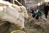 """Nederland, Herpen, 20090128...Kinderen bij de koeien in de stal...Kinderopvang 'Op de boerderij' in Herpen...""""OP DE BOERDERIJ"""" kinderopvang..is gevestigd bij een vleesveebedrijf te Herpen...In de stal met de koeien....Netherlands, Herpen, 20090128. ..Children with the cows in the barn...Childcare on the farm in Herpen. ..""""ON THE FARM"""" childcare ..is located at a beef farm in Herpen...In the stabls with the cows    .."""