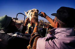 SPANA animal technician treats a working mule with wormer at Tamaslouht souk, near Marrakech, Morocco.