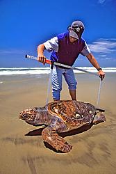 J. Nichols Measuring Dead Loggerhead Sea Turtle