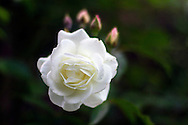 "A ""White Dawn"" Rose blooming in a backyard garden"