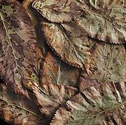 Elderberry Leaves #5, Ahwahnee, California 2012