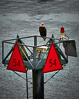 Route Marker 54 with a Bald Eagle in Wrangell Narrows. Image taken with a Nikon D300 camera and 70-300 mm VR lens.