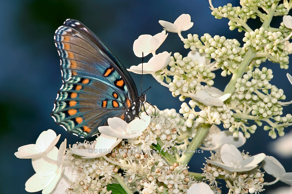 Butterfly, Red-Spotted Purple, Profile View, Limenitis arthemis astyanax