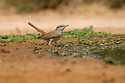 Rufous-tailed scrub robin (Cercotrichas galactotes) on the ground. Photographed in Israel in May