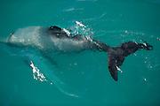 Hector's dolphin (Cephalorhynchus hectori) is the only endemic cetacean to New Zealand. Kaikōura South Island of New Zealand  | Hector-Delfin (Cephalorhynchus hectori) lebt ausschließlich in den Gewässern um Neuseeland. Kaikoura, Südinsel Neuseeland