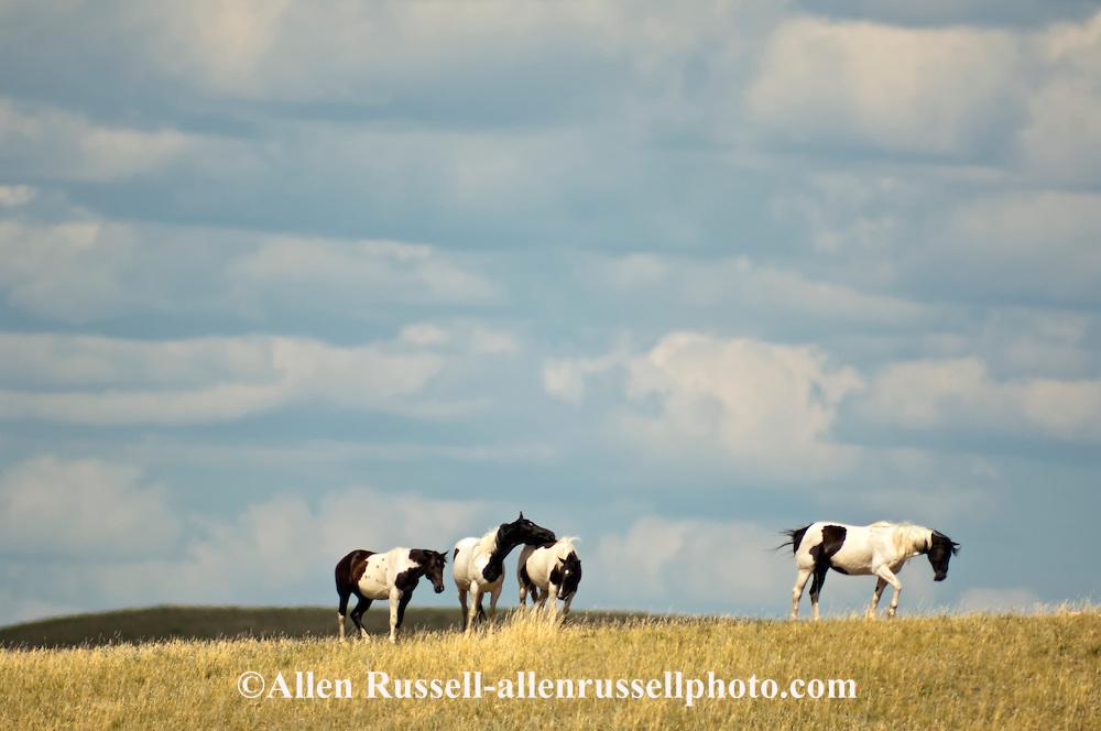 Indian paint horses, (Equus caballus) Fort Belknap Indian Reservation, Montana