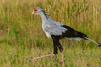 Secretary Bird, Nxai Pan National Park, Botswana.