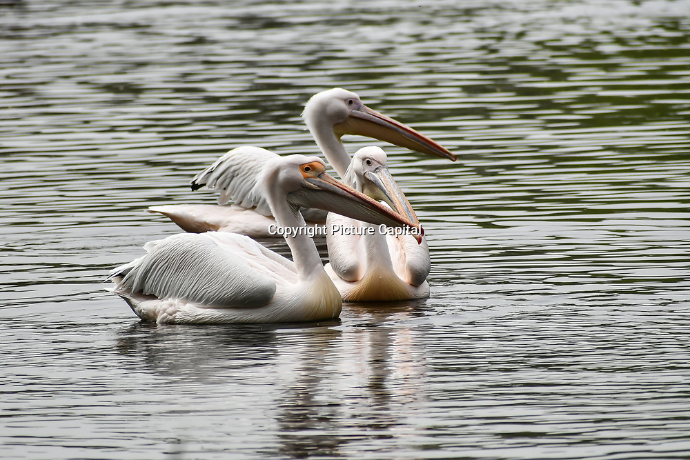 Pelicans at St James park and a lovely weather on 23 April 2019, London, UK.