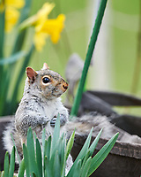 Squirrel in with the Daffodils. Image taken with a Nikon D850 camera and 500 mm f/4 VR lens.