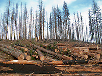 Trees killed in a forest fire are cut for timber in the Umatilla National Forest, Blue Mountains, WA, USA