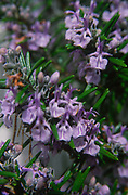ADD2W1 Rosemary herb plant in flower close up