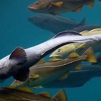Europe, Norway, Alesund; The Atlantic Ocean Park aquarium.