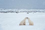 Polar bears sparring Ursus maritimus on frozen tundra<br /> Churchill<br /> Manitoba<br /> Canada