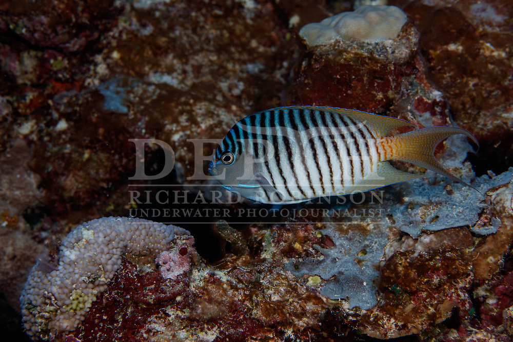 Genicanthus melanospilos (Blackspot Angelfish) also known as the Spotbreast angelfish or the Swallowtail Angelfish at Namuka-i-Lau Island lagoon in the Lau Island Group of Fiji. <br /> Saturday 12 August 2017<br /> Photograph Richard Robinson © 2017