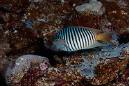 Genicanthus melanospilos (Blackspot Angelfish)