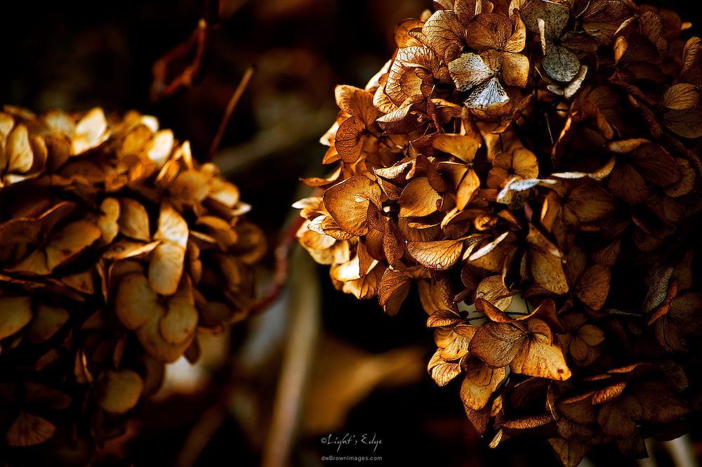 Past their peak the dryed blooms of a Hydrangea provide added splendor to the autumn season.