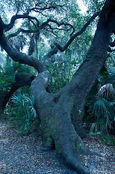 Coast Live Oak (Quercus agrifolia), Hammock Trail, Sebastian Inlet State Park, Sebastian, Florida, US