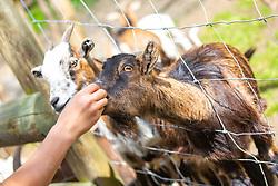 THEMENBILD - eine Ziege (Capra) wird im Streichelzoo im Wildpark Ferleiten gefüttert, aufgenommen am 29. April 2018 in Taxenbacher-Fusch, Österreich // a goat (Capra) is fed in the petting zoo in Wildpark Ferleiten, Taxenbacher-Fusch, Austria on 2018/04/29. EXPA Pictures © 2018, PhotoCredit: EXPA/ Stefanie Oberhauser