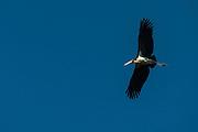 Lesser Adjutant stork (Leptoptilos javanicus)<br /> Kaziranga National Park<br /> Assam<br /> North East India<br /> UNESCO World Heritage Site<br /> Vulnerable