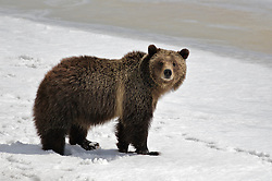 Grizzly Bear Sow  sizing up this photographer