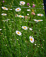 Daisy. Image taken with a Nikon D810a camera and 105 mm f/1.4 lens